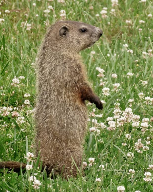 control-groundhogs-and-woodchucks-control