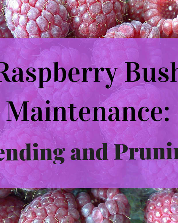 pruning-raspberries-