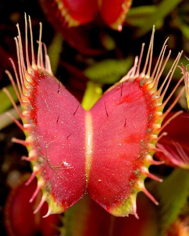 carnivorous-plants-care