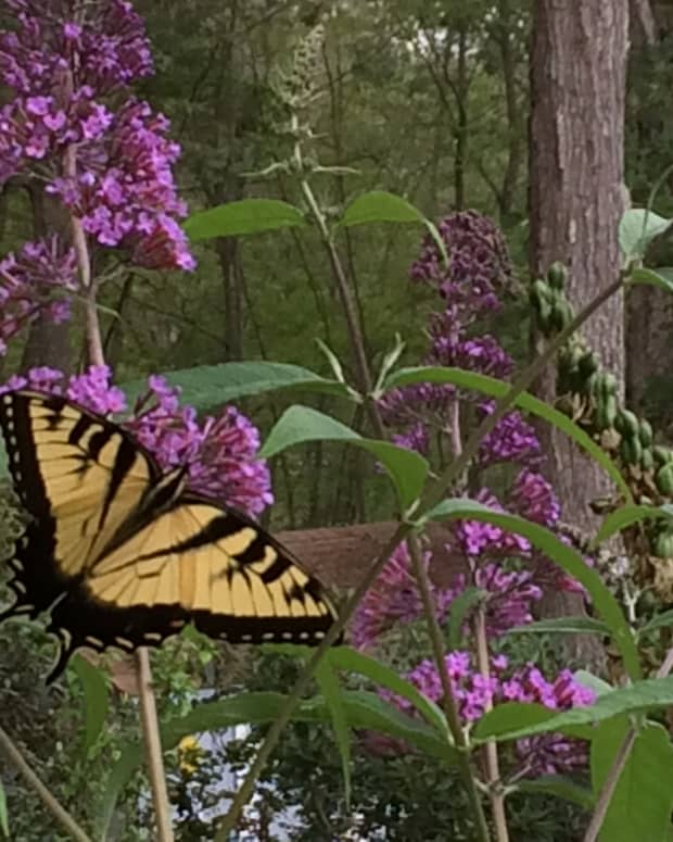 planting-butterfly-bushes-buddleia