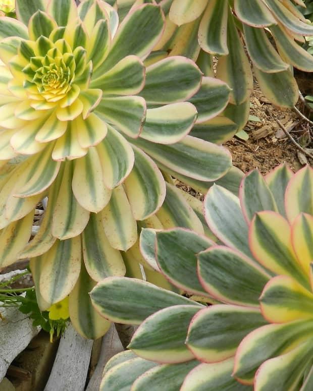 aeonium-arboreum-succulent-garden