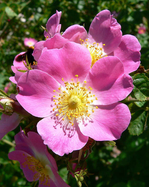 heirloom-roses-the-eglantine-sweet-briar-rose