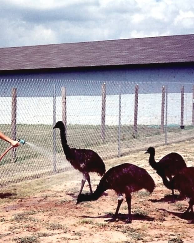 the-pros-and-cons-of-emu-farming