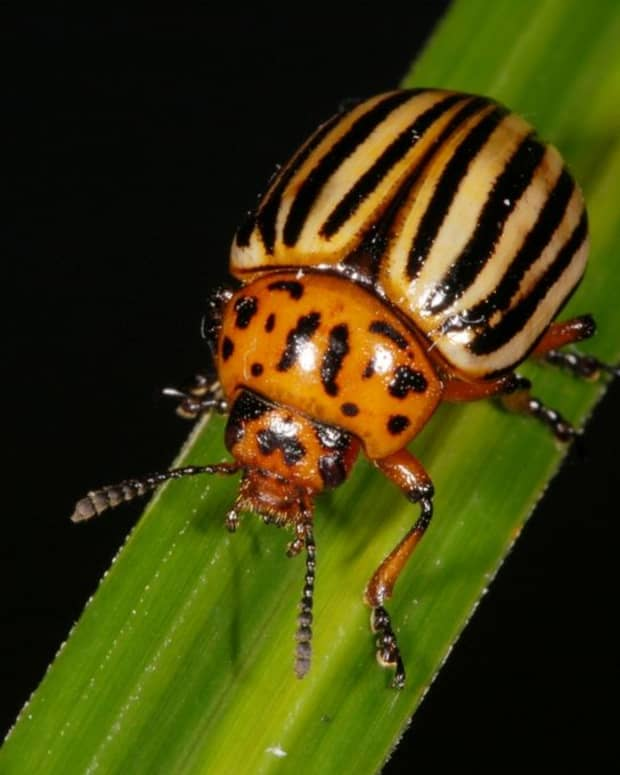 how-to-rid-your-garden-of-potato-beetles