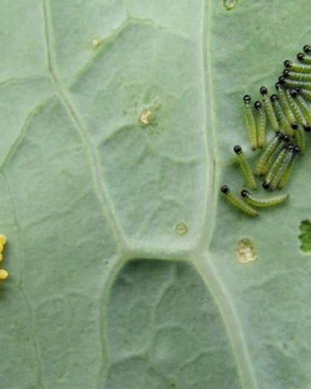 how-to-rid-your-garden-of-cabbage-worms