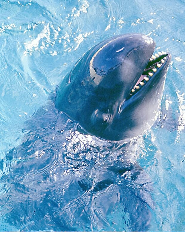 false-killer-whales-facts-videos-and-a-rescue-attempt