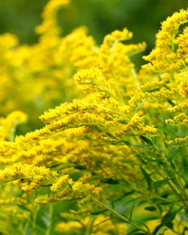 fall-color-goldenrod
