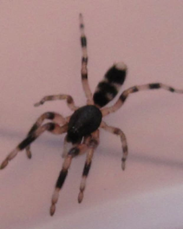 white-tail-spider