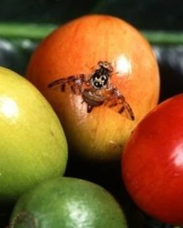 how-to-get-rid-of-fruit-flies-fast-2