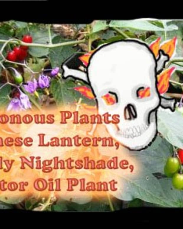 poisonous_plants_physalis_deadly_nightshade_castor_oil_plant