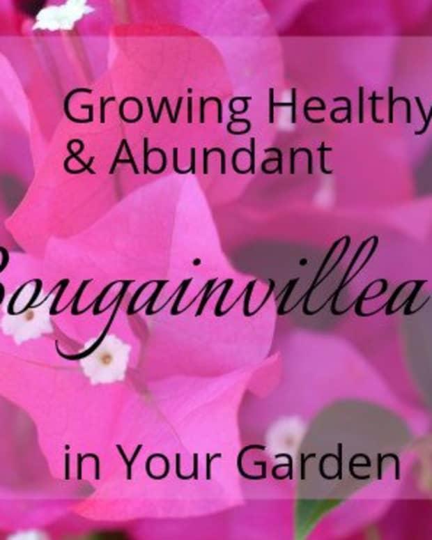 care-for-bougainvillea
