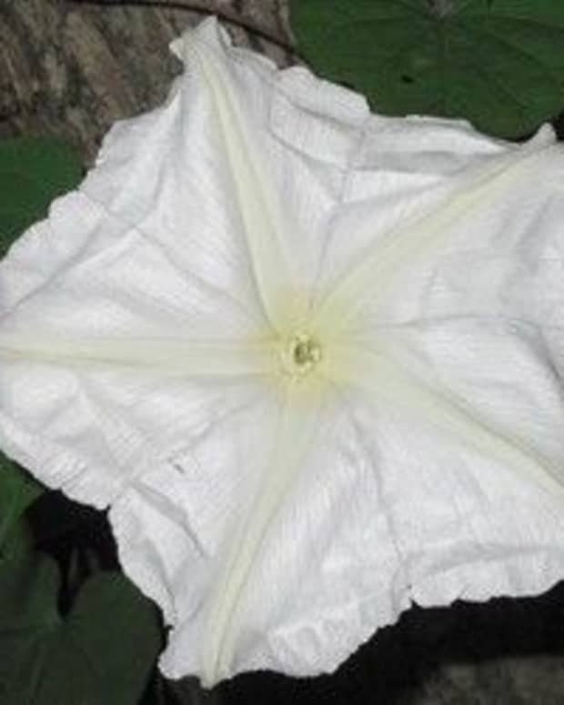 moonflowers-night-blooming-plants