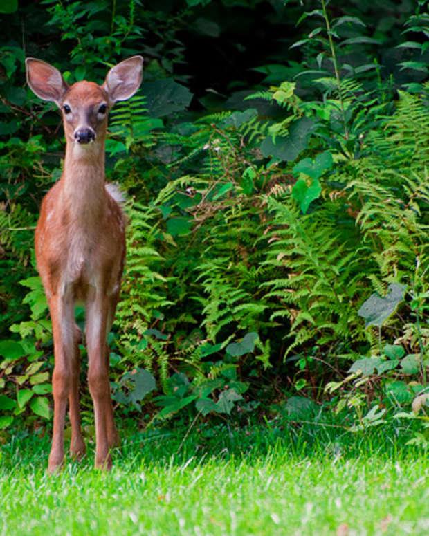 deer-resistant-plants-2