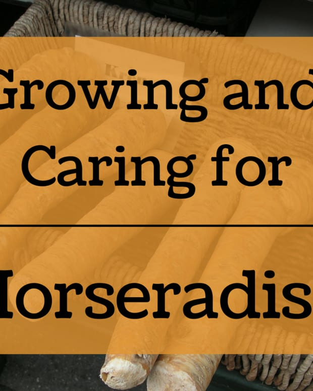 how-to-grow-horseradiash