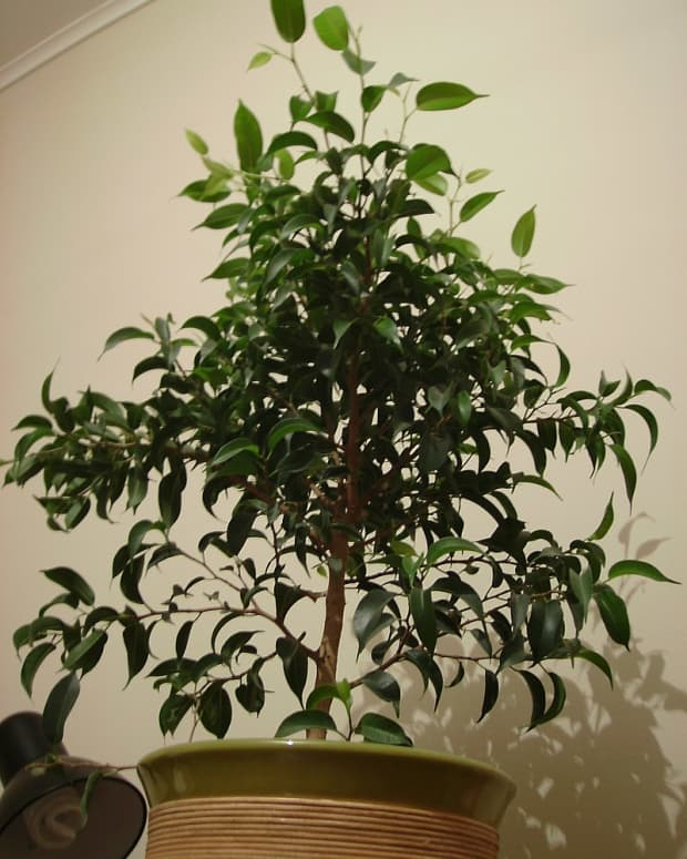 how-to-grow-a-ficus-tree-weeping-fig-as-a-houseplant