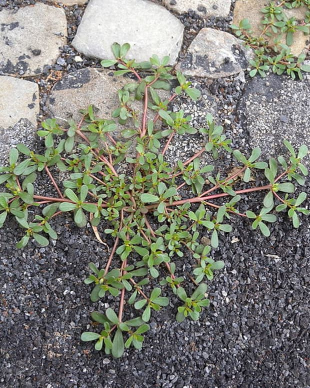 how-to-grow-purslane-an-edible-weed