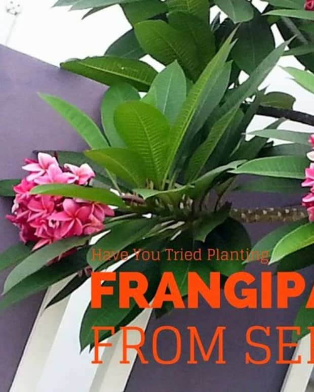 how-i-plant-plumeria-or-frangipani-from-seeds