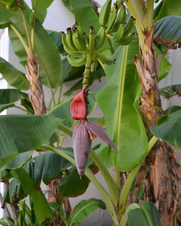 10-uses-of-banana-plants