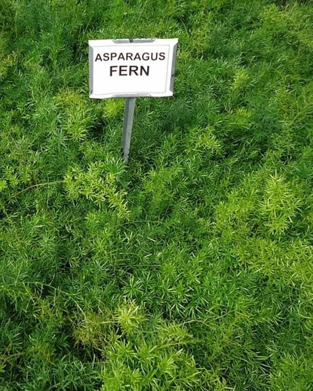 how-to-grow-asparagus-ferns