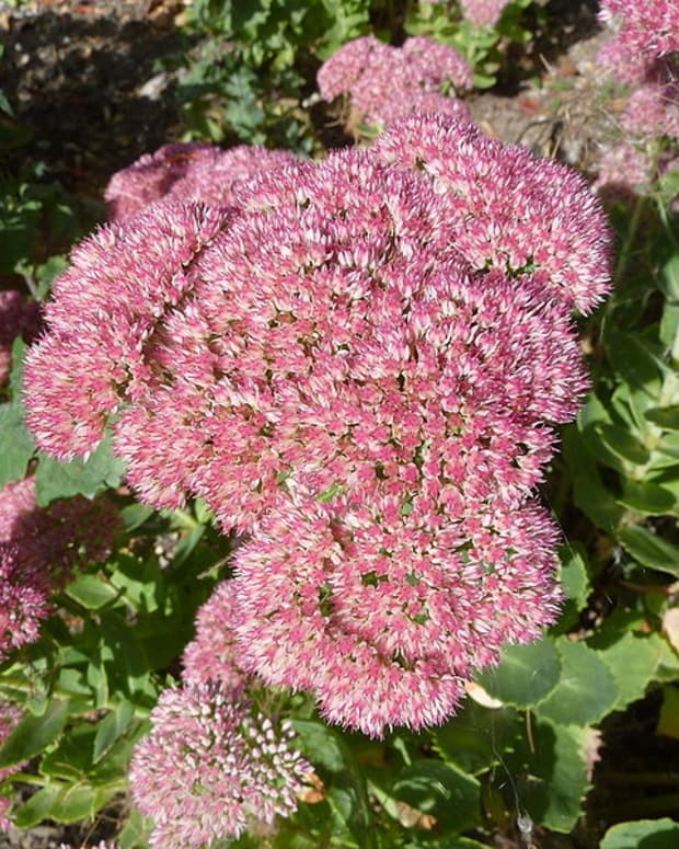 fall-color-sedum-autumn-joy
