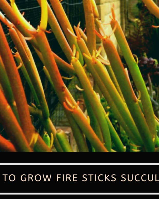 fire-sticks-succulent
