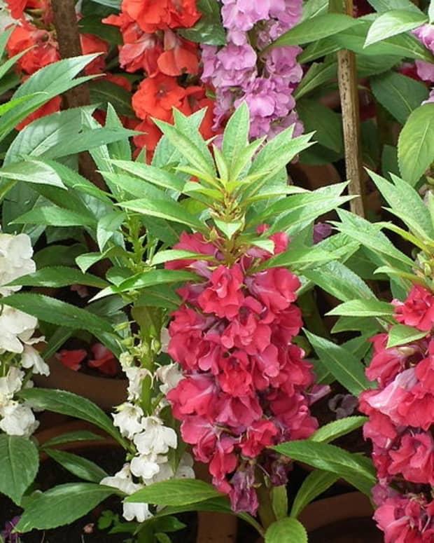 cottage-garden-favorites-balsam