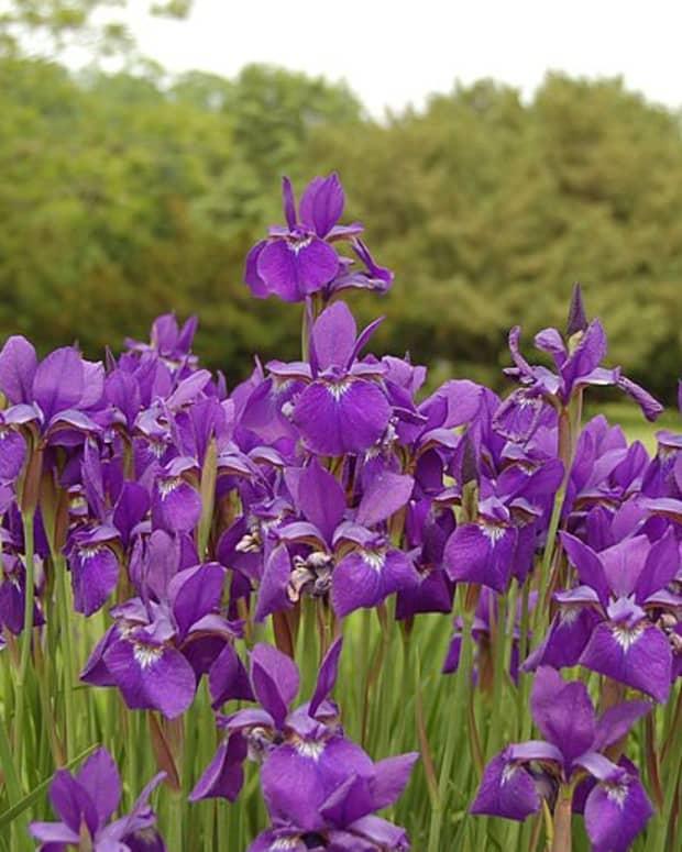 iris-siberian-iris
