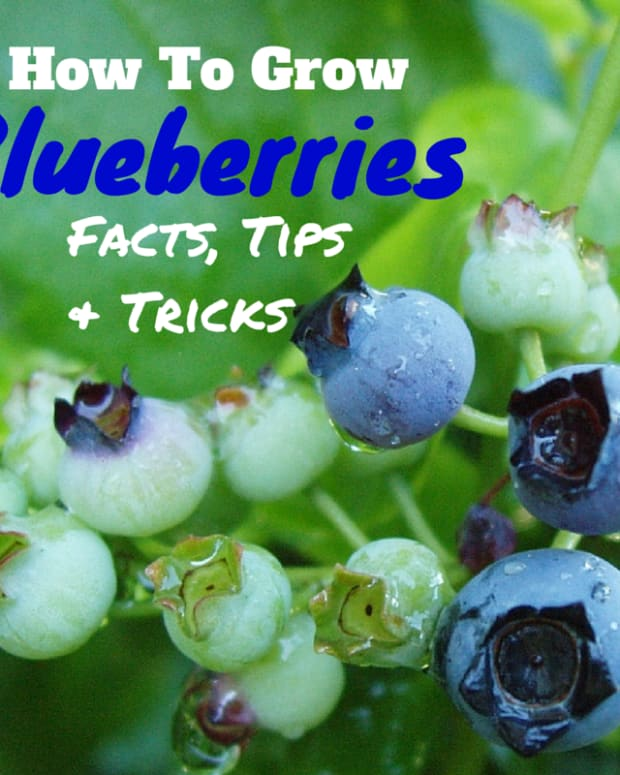 facts-tips-and-tricks-to-growing-blueberries