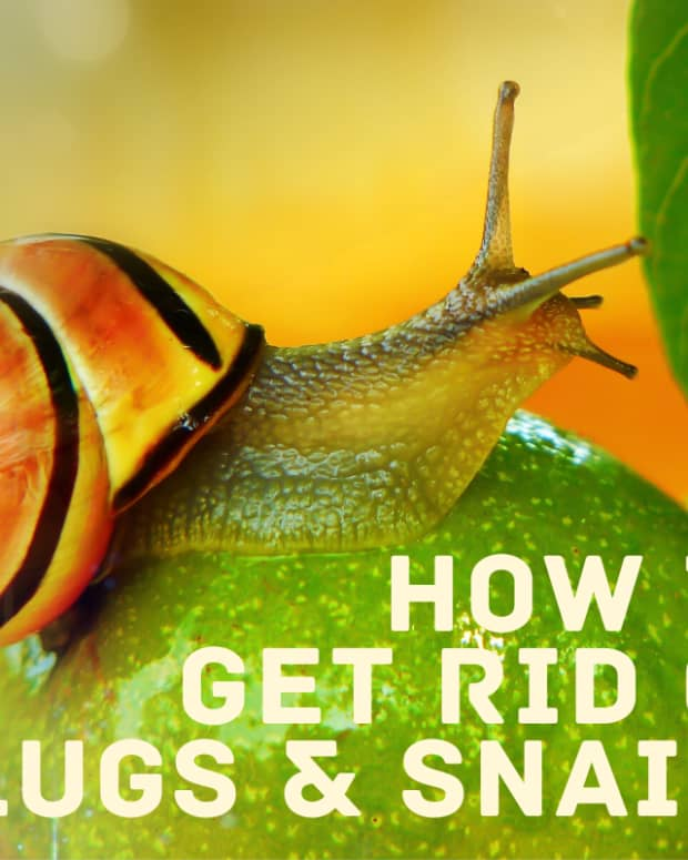 get-rid-of-snails-slugs-in-water-tanks-aquarium-garden