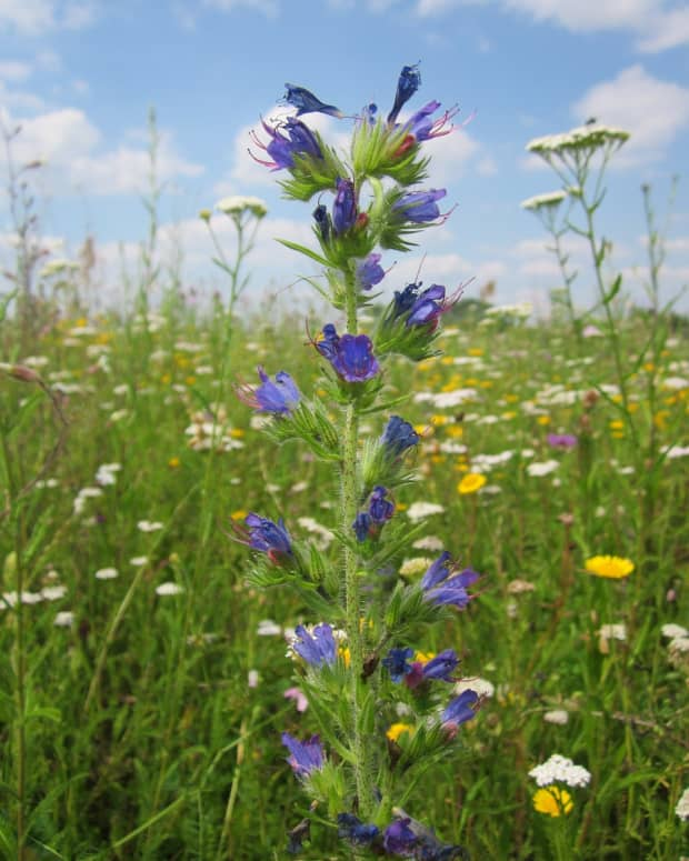 grow_vipers_bugloss_to_help_the_bees