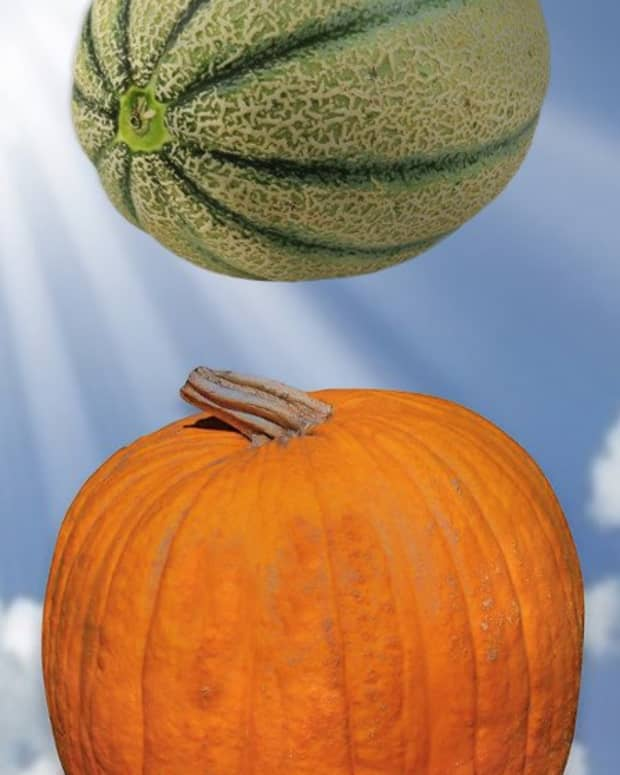 construct-rigid-cradles-to-support-trellised-melons-and-pumpkins