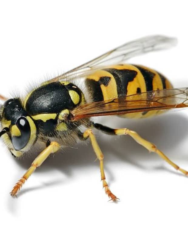 get-rid-of-yellow-jackets