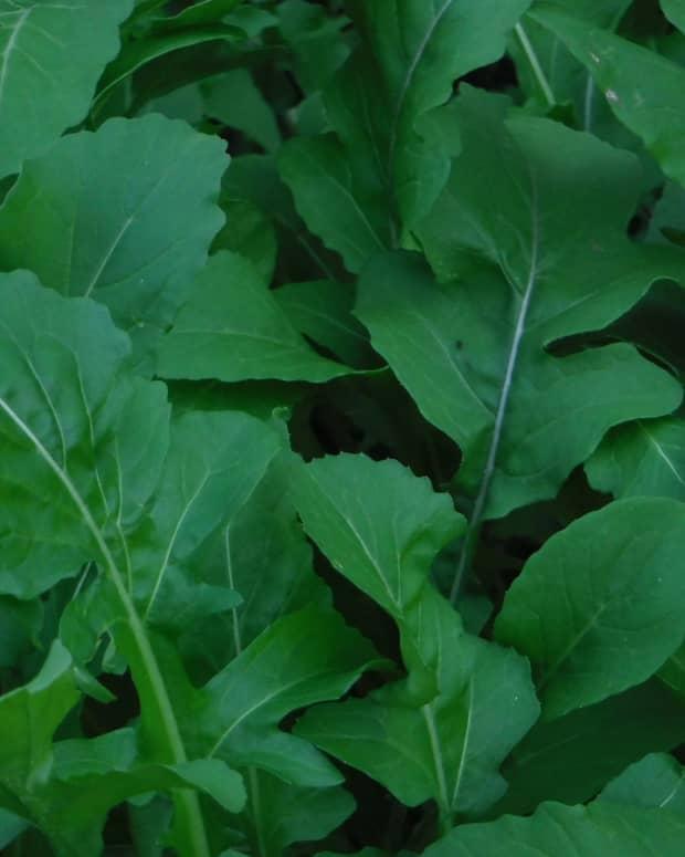 arugula-in-my-garden