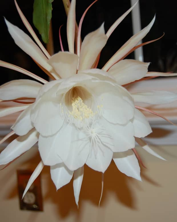 how-to-grow-night-blooming-cereus