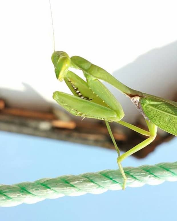 how-to-attract-praying-mantises-to-your-garden
