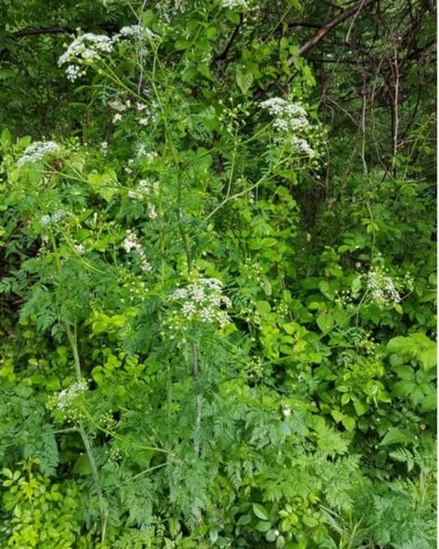 wild-flowers-poison-hemlock
