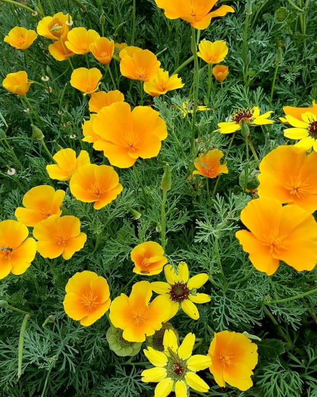 how-to-grow-spectacular-california-poppies