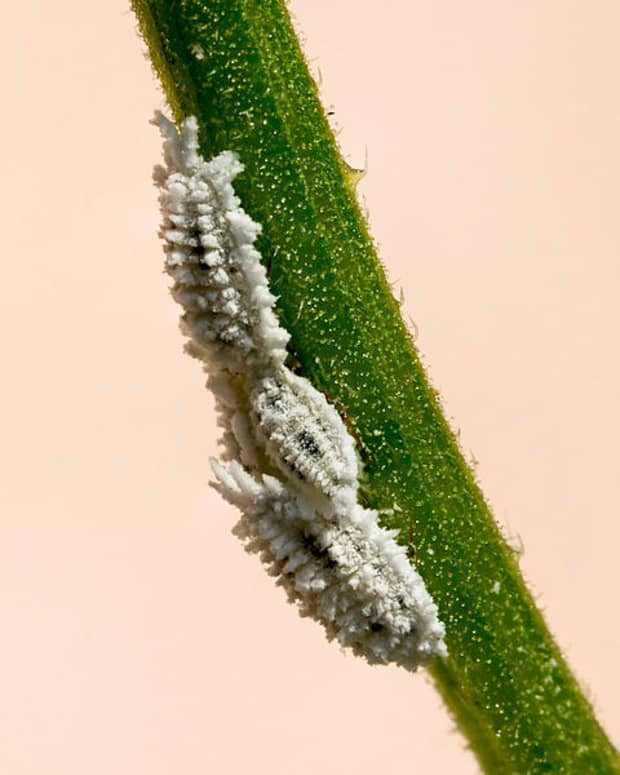 how-to-rid-your-home-garden-of-mealybugs