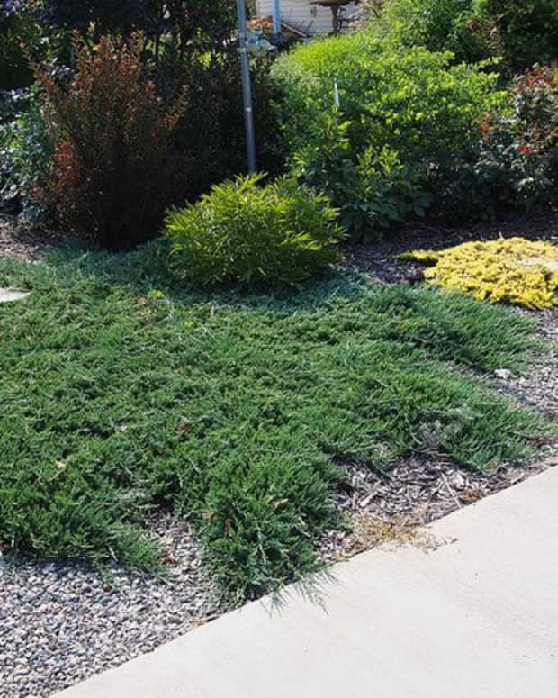 creeping-juniper-groundcover-types-care-and-propagation