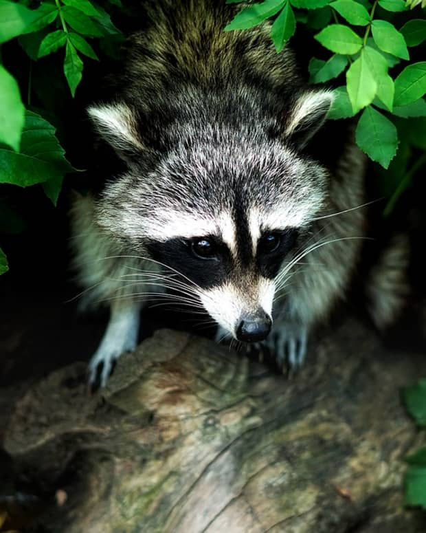 tips-on-how-to-keep-raccoons-out-of-your-garden