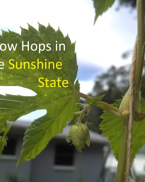 Growing Hops in Florida