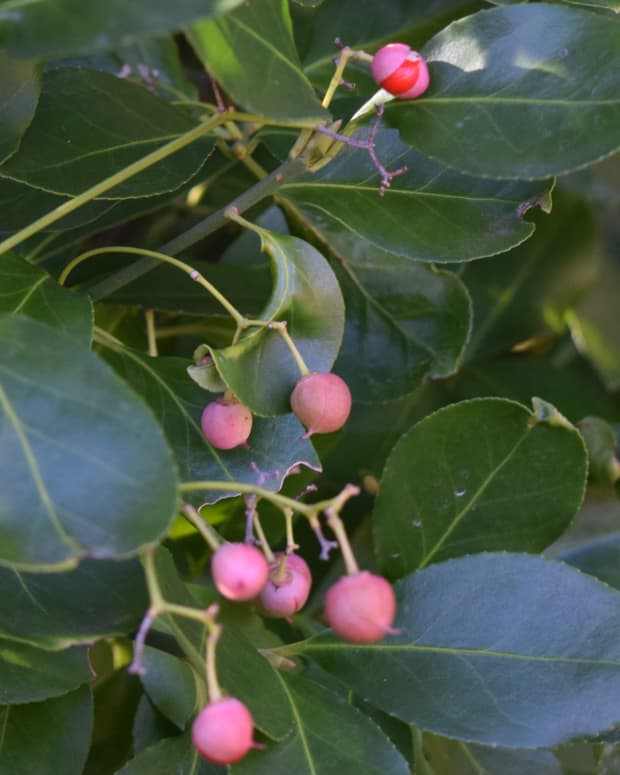 9-reasons-to-use-evergreen-shrubs-in-your-garden