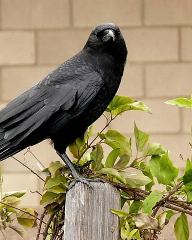 how-to-get-rid-of-backyard-crows