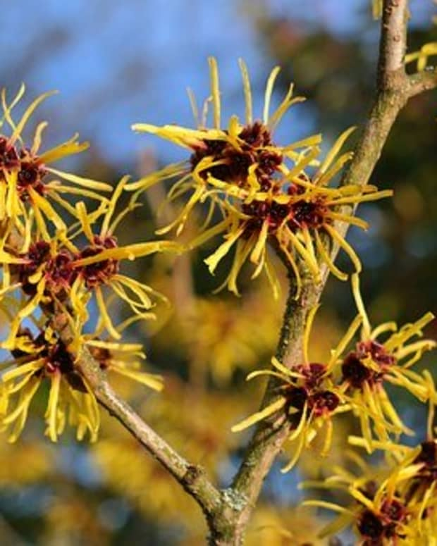 what-is-witch-hazel