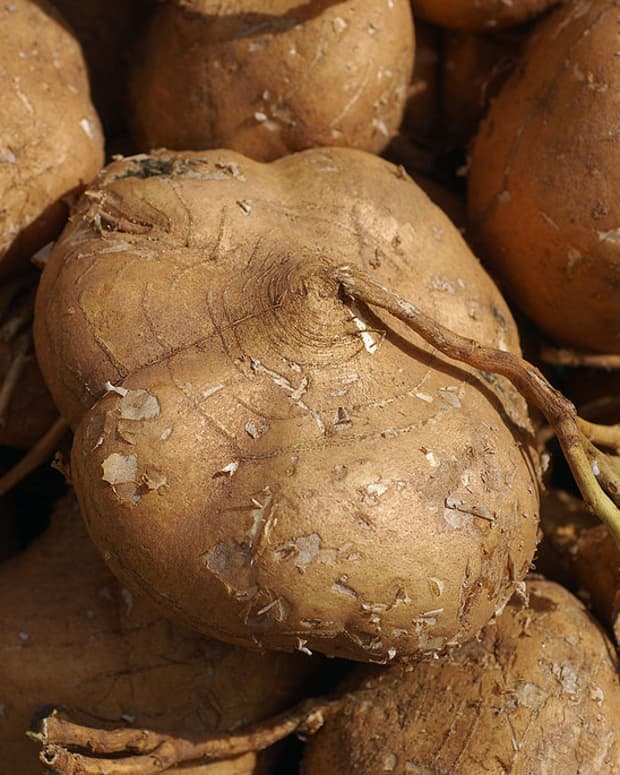 how-to-grow-jicama