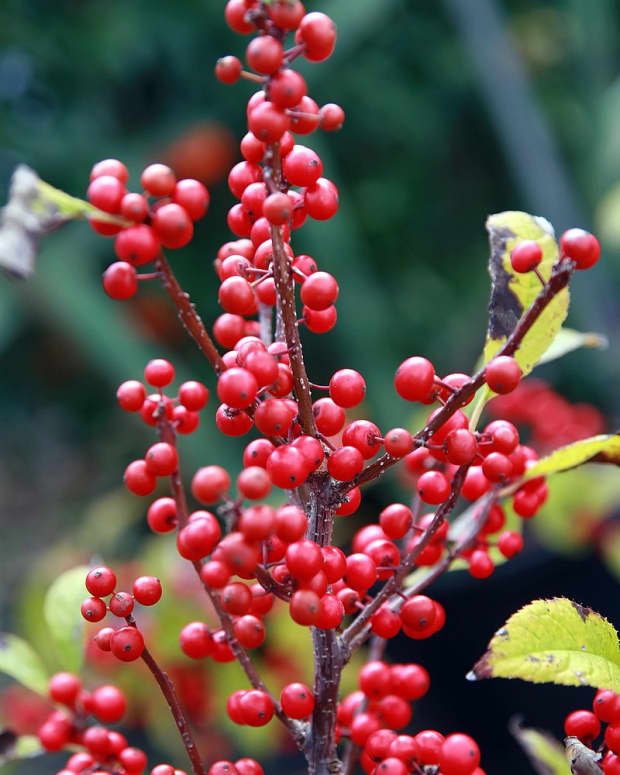 what-is-winterberry