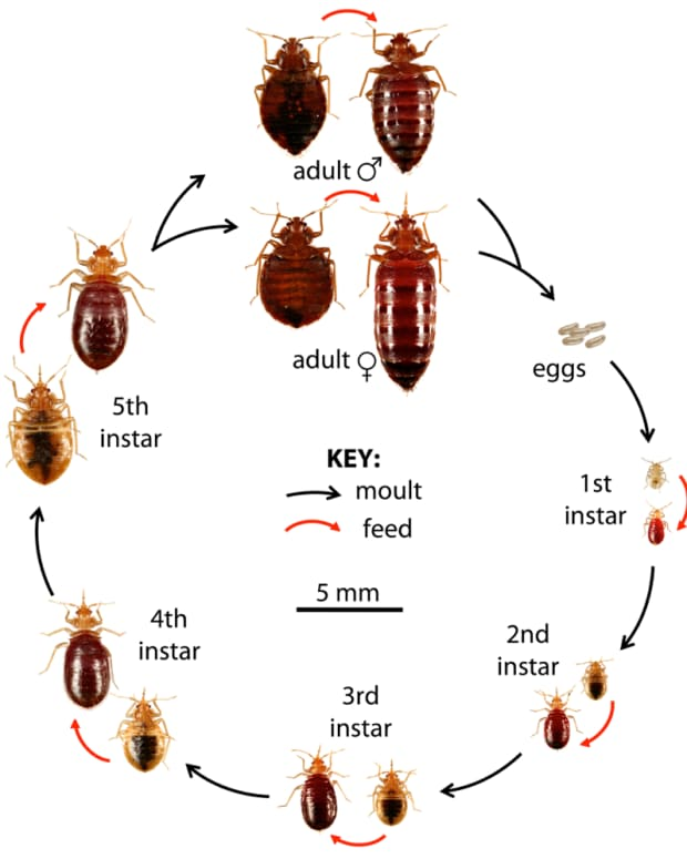 how-to-get-rid-of-bed-bugs-by-yourself-without-poisons