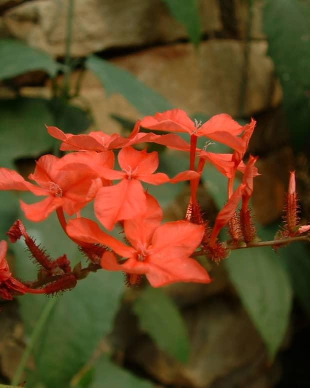 hardy-beautiful-plumbago-plants