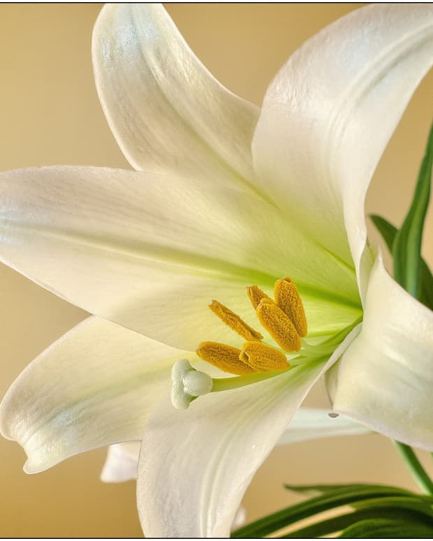 easter-lily-care