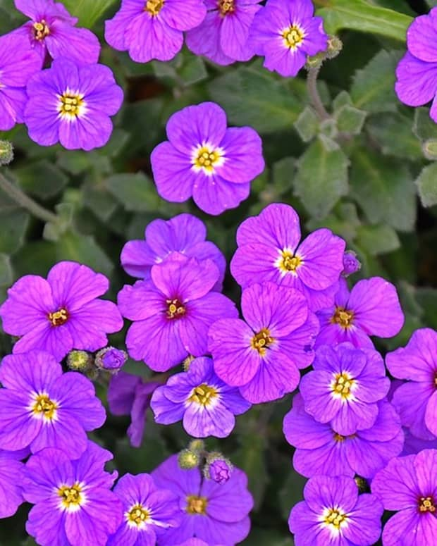 growing-perennial-geraniums